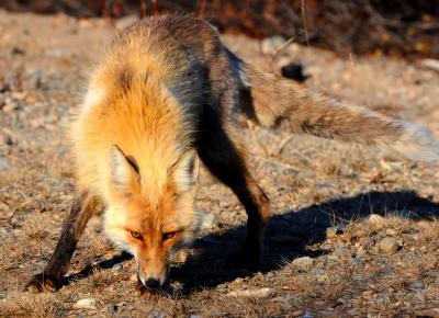 Liška dorovná snížený státní příspěvek