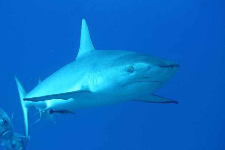 Žralok - grey reef shark