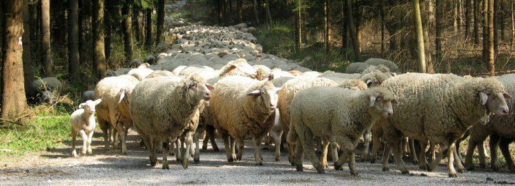 Služebnost stezky - služebnost průchodu - ovce - stádo ovcí - les