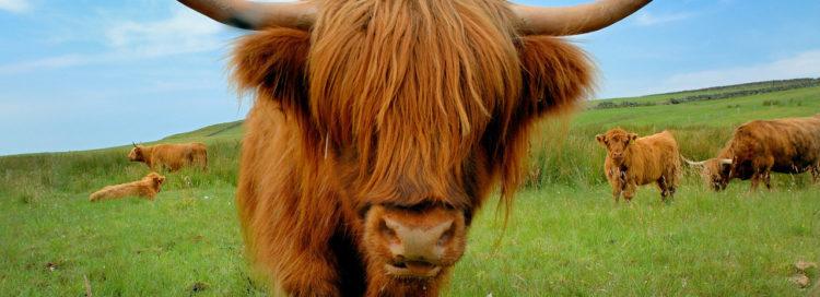 Chlupatá kráva s velkými rohy na pastvě - chov dobytka - zemědělství